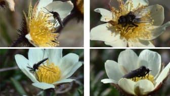 Precis som i andra regioner är de flesta arktiska växter insektspollinerade. Fjällsippan är mycket mer populär än andra växtarter. Därför lockar den till sig pollinatörer på andra växters bekostnad. Foto: Claus Rasmussen