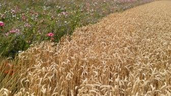 Tři procenta pšeničných polí jsou ponechána pro osetí speciálně vybranými medonosnými květinami, které opylovačům umožňují po celý rok získávat co nejvíce pylu a medu.