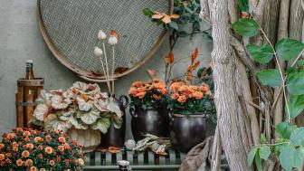 Sensommaren är en härlig tid. Två favoriter är krysantemum och alunrot. Foto: Åsa Myrberg