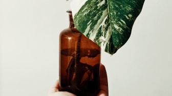 Odlingstrenden växer starkt  - Dyraste sticklingen någonsin såld på Tradera i augusti