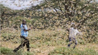 Kenya har invasionen av gräshoppor pågått i flera veckor. Här i distriktet Samburu i Kenya där ett katastrofteam arbetar för att identifiera lokaliseringen av gräshopporna. Foto: Patrick Ngugi AP/SIPA