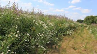 Wildpflanzenmischung zur energetischen Nutzung (Bildautor: Werner Kuhn)