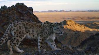 Snöleopard fotad med viltkamera i Mongoliet. Foto: Snow Leopard Trust