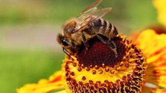 Honungsbi på blomma. Foto: Mostphotos