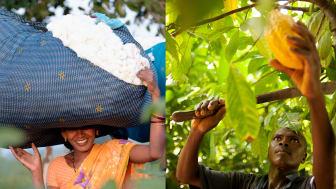 Försäljning av Fairtrade-märkt bomull och kakao ökar. Fotograf: Didier Gentilhomme och Éric St-Pierre. Bomullsodlare från Chetna Organic, Indien och kakaoodlare från CANN i Elfenbenskusten.