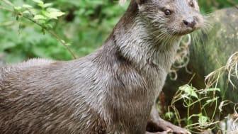 Otter, Woitendorfer Bach
