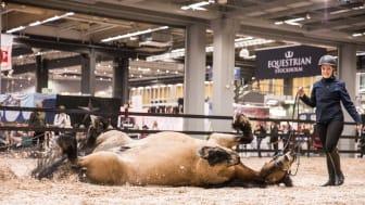 Uppvisningar i paddocken är omtyckta av besökare såväl som hästar.