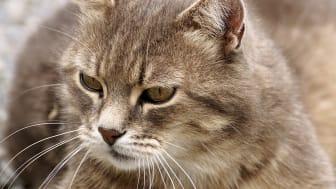 Risken för sjukdomar ökar när katten blir äldre.