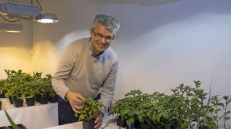 Velemir Ninkovic i växthuset på SLU där tekniken har utvecklats. Foto: Cajsa Lithell/SLU