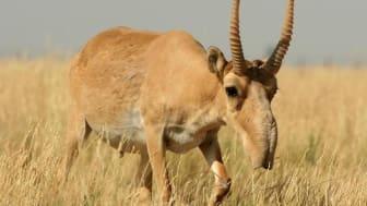 Saiga-antilop. Källa: Wikimedia Commons (https://commons.wikimedia.org/wiki/File:Saiga_tartarica_(cropped).jpg)