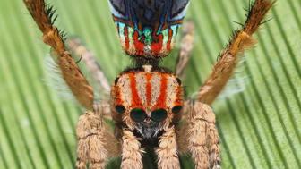 Påfugle-edderkopperne er blevet berømte for deres pragtfulde farvar og specielle parringsdans. Her ses en smuk M. azureus. Foto: Joseph Schubert