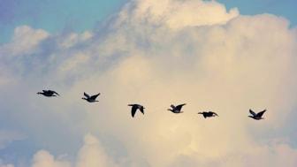 Genrebild flyttfåglar, foto Pixabay.