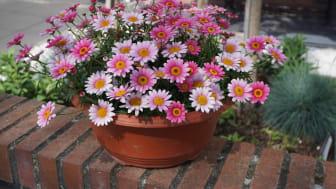 Ljuvlig nyhet 2021 - margerit Argyranthemum frutescens 'Madeira' Pink Halo