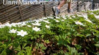 Tillgänglighetsbanor, årets nyhet på Linnémarschen