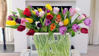 Ett färgsprakande fång tulpaner till påsk