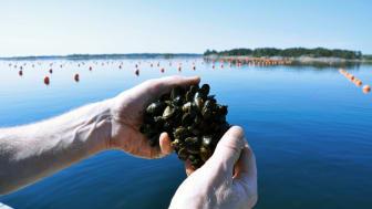 Skördade musslor. Foto: Lena Tasse, Region Östergötland