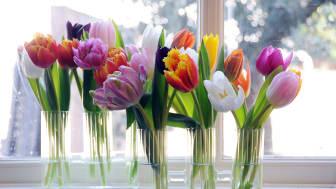 Den 15 januari firas Tulpanens Dag
