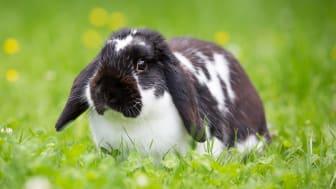 Kaniner är betande djur, det vill säga gräsätare. Foto: Sveland Djurförsäkringar