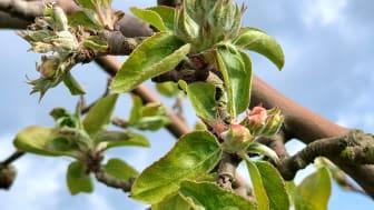 Äppelblomma, Gravenstein