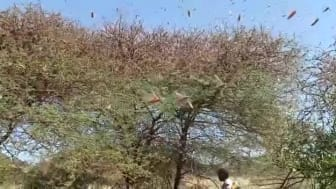 Gräshoppor på Afrikas horn