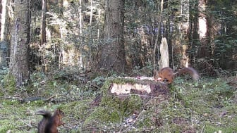 Archie (on tree stump) meets a fellow red squirrel in the forest