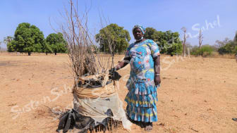 Protecting saplings is essential & time intensive