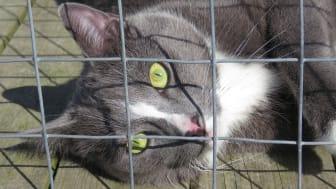 Katten Pepsi på katthemmet Tassebo i Helsingborg. En av landets alla hemlösa katter som söker ett nytt hem.