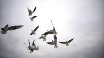Länsstyrelsen bjuder till pressträff med anledning av risken för spridning av fågelinfluensa i Dalarna