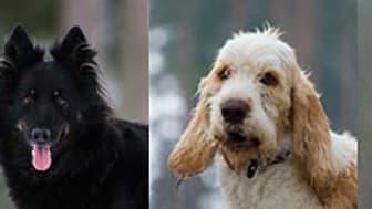 Fem nya hundraser kom till Sverige 2010