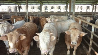 BOX WITH SLATTED FLOOR FOR FATTENING CATTLE