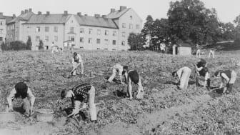 Potatisupptagning i Kristinebergsparken, Stockholm, tidigt 1900-tal. Arkivbild Svenska Dagbladet, fotograf okänd. /Stockholmskällan