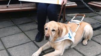 Ulrika Norelius Centervik, kanslichef Synskadades Riksförbund, samt ledarhunden Vante. Foto: SRF