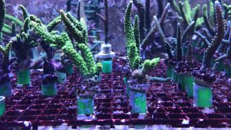 På bilden syns två arter inom korallsläktet Acropora.