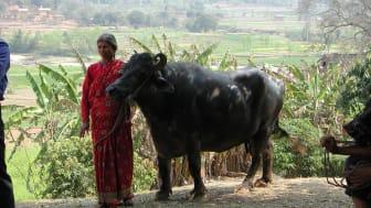 Napalesisk kvinna med buffel. Foto Peter Roeder