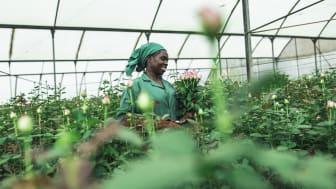 Nu kan svenskarna skicka blombud med Fairtrade-märkta rosor. Grace Mwangi arbetar på en Fairtrade-certifierad plantage i Kenya. Foto: Christoph Köstlin