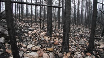 Hälleskogsbrännan, Västmanland, Sweden, three months after the fire in 2014. Almost all organic soil in the area was lost, which released large amounts of carbon and nitrogen. Credit: Joachim Strengbom