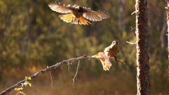Lavskrikan häckar i skogar i norra Sverige ner till nordligaste Värmland, mellersta Dalarna och nordvästra Gästrikland. (Foto: Julian Klein/SLU)