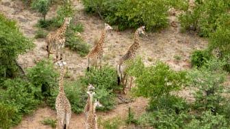 P&CG_Giraffervandrar