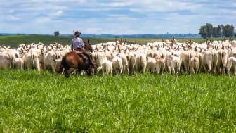 Kvæg og soja er nogle af de landbrugsprodukter, der forårsager mest skovrydning i Brasilien