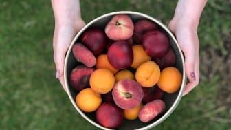 Stenfruktspecial: Lär känna 5 olika stenfrukter