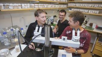 Professor Jan Larsson och universitetslektor Yuri Schwartz på bananflugelabbet. I bakgrunden syns forskaren Per Stenberg. Samtliga tillhör Institutionen för molekylärbiologi vid Umeå universitet. Foto: Mattias Pettersson