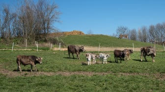 WTG-Rinder-Herde-Weide