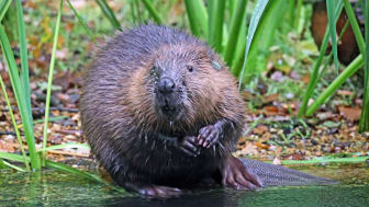 Bæveren er et af de dyr, som er blevet genudsat i Storbritanien, der har haft en positiv påvirknink - helt konkret ved at mindske antallet af oversvømmelser langs floderne, da deres dæmninger har bremset meget af vandet. Foto: Wildwood Trust