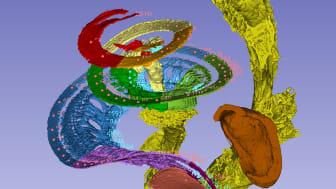 Hörmembranet och hörselnerven i hörselsnäckan. Oktavbanden har getts olika färger. Människan kan uppfatta frekvenser från 20 Hz (toppen av snäckan) till 20 000 Hz (basen av snäckan). Bild: Hao Li
