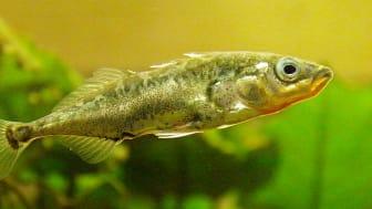 Forskere har «dopet ned» stingsild med «lykkepiller» og funnet ut at de da ikke reagerer på naturlige predatorer. Fiskens endring i adferd kan brukes til å påvise legemidler i vannmiljøer. (Foto: Jack Wolf. Lisens: CC BY NC ND 2.0)