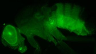 Transgena fruktflugor som uttrycker grönt fluorescerande protein i den leverliknande fettkroppen – det främsta målet för corazonin. Bild av Meet Zandawala.