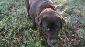 Årets bragdhund Hilda som både spårar skadat vilt och bortsprungna hundar