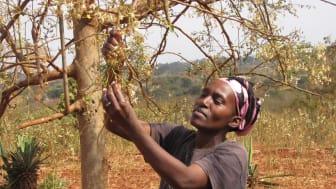 """Esther i Emali, Kenya med sitt endast tre månader gamla """"mirakelträd"""" Moringa."""