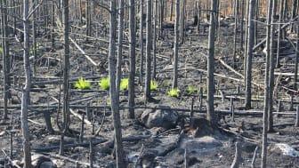 Bara några veckor efter branden började de första växterna återvända. Foto: Lena Gustafsson SLU