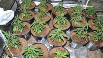 Cannabis plans recovered from a property in Cemetery Road, Southport